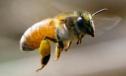 www_bellingenbees_org_au